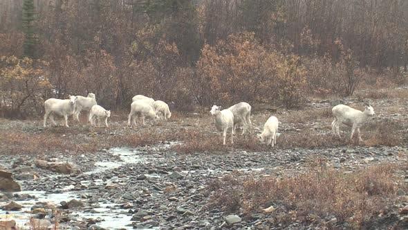 Dall Sheep Ewe Female Adult Young Herd Many Eating Feeding in Autumn Rain Drizzle