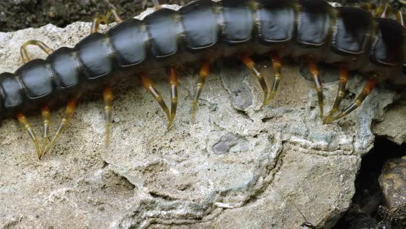Thumbnail for Extreme close shot of a Peruvian Giant Centipede crawling on a rock. Another bug crawls by