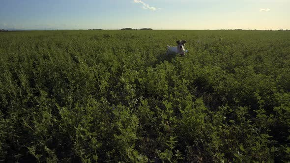 Thumbnail for Dog Jack Russell Terrier Running After Toy In The Summer On Green Grass In Field Under Blue Sky