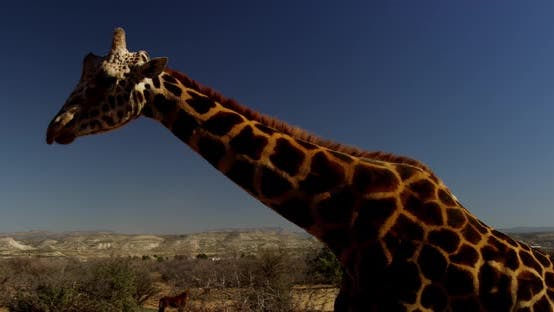 Thumbnail for Footage of giraffe, Shot on RED Epic