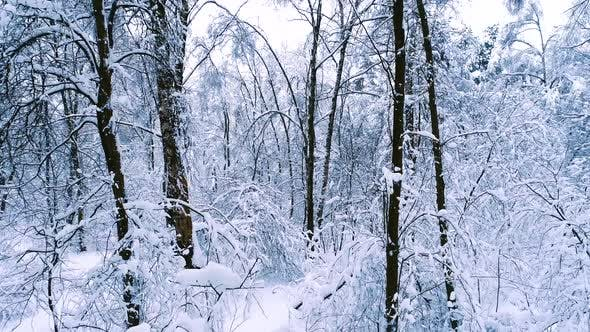 Thumbnail for Snowy Branches in Forest