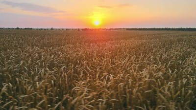 Aerial Sunset Shot in a Wheat Field
