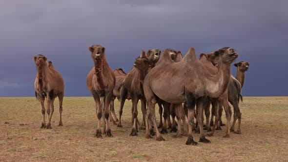 Thumbnail for Gruppe Kamele in Steppe und Sturm Sky