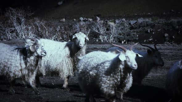 Thumbnail for Flock of Sheep Grazing in the Mountain.
