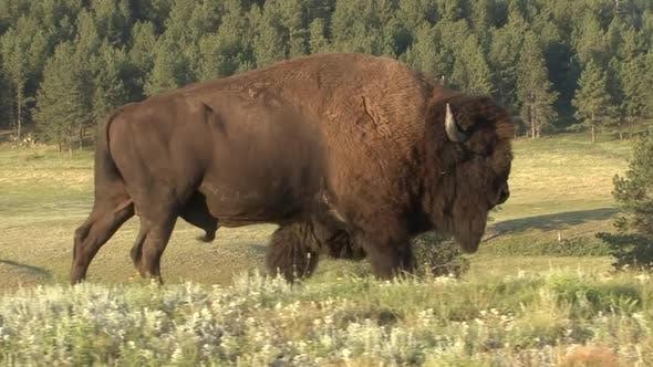 Thumbnail for Bison Bull Adult Lone Walking Moving in Summer in South Dakota