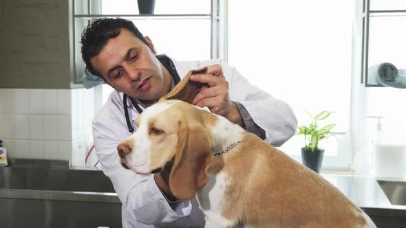 Thumbnail for Professional Male Vet Examining Ears of Cute Beagle Dog