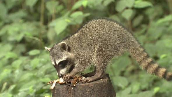 Raccoon Adult Immature Lone Eating Feeding Foraging Banana Fruit