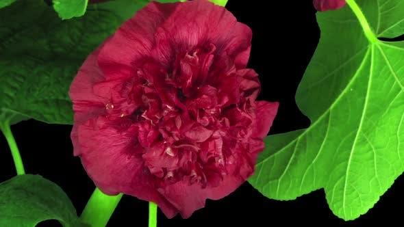 Thumbnail for Zeitraffer der blühenden rot gefüllten Malvenblume