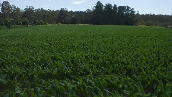 Thumbnail for Corn Plantation 01