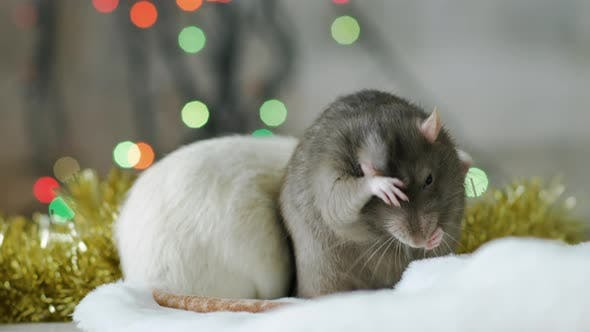 Thumbnail for Two Rats with Sparkling Garland at The Background