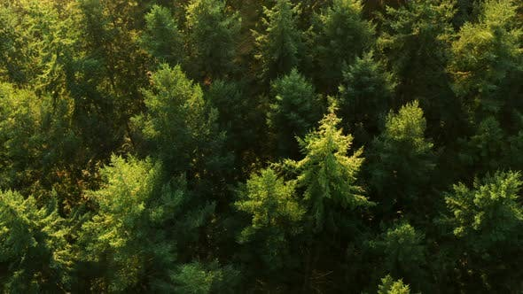 Thumbnail for Looking down onto a pine forest at sunrise