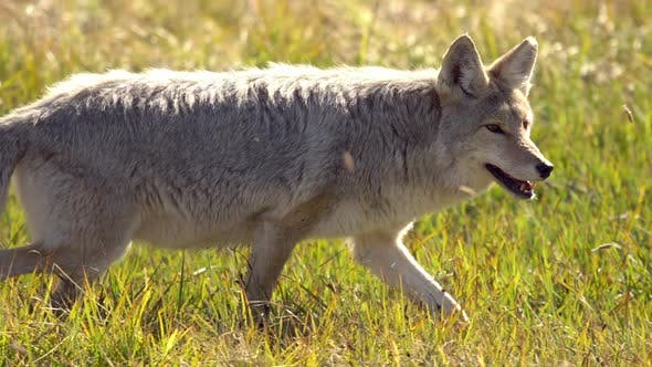 Coyote walking through grass as it is hunting