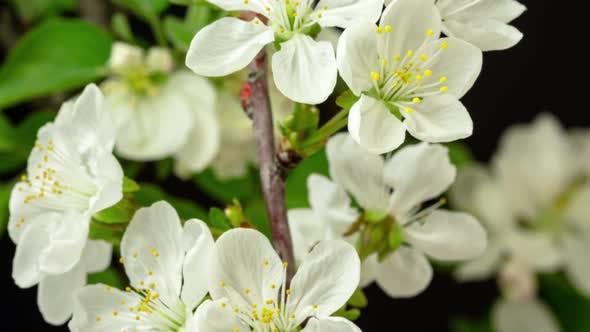 Thumbnail for Sour Cherry Fruit Flower Blossom