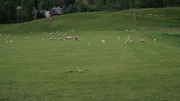 Sheep and Geese are Grazing and Walking on Farm