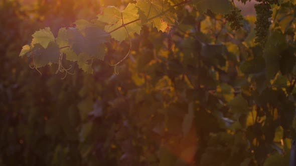 Grapes in the Sunset