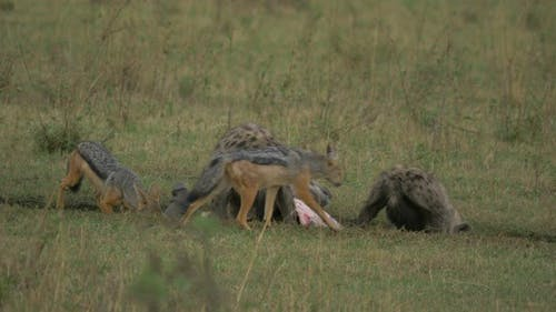 Hyenas and jackals eating