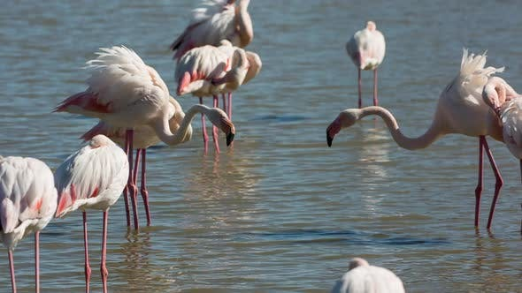 Thumbnail for Flamingo bird nature wildlife reserve carmargue lagoon