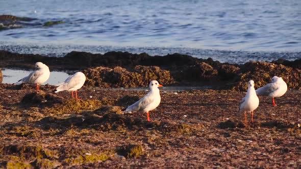 De nombreuses mouettes se tiennent sur la plage et brossent leurs plumes avec leur bec