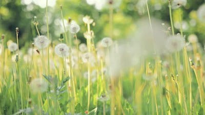 Dandelions Grow on the Lawn