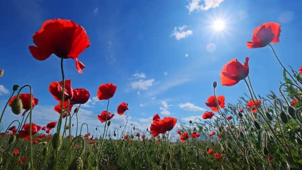 Red Poppies and Blue Sky