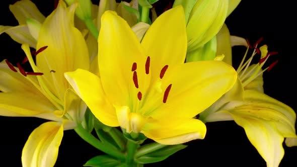 Thumbnail for Zeitraffer Gelbe Lilie Blüten