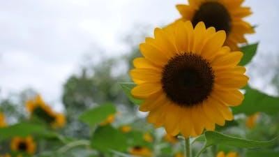 Beautiful sunflower in the wind