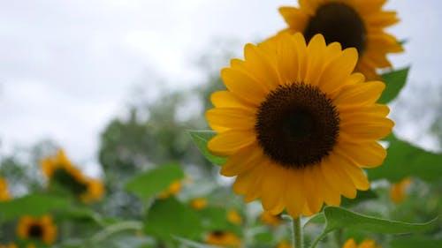 Schöne Sonnenblume im Wind