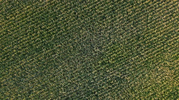 Thumbnail for Aerial Drone Shot of Green Corn Field at Summer Evening