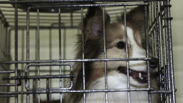 Thumbnail for Sweet Shetland Sheepdog Nervously Waiting for Appointment With Veterinarian