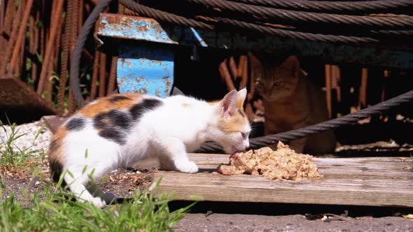 Thumbnail for Homeless Wild Tricolor Kitten Eating Meat on the Street at the Landfill. Feeding Stray Animals