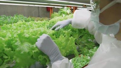 Agroengineer Examining Lettuce Leaves
