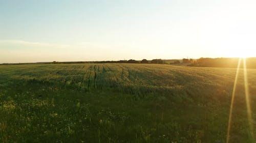 Yellow Wheat Sunset