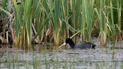 Eurasian coot duck in small pond