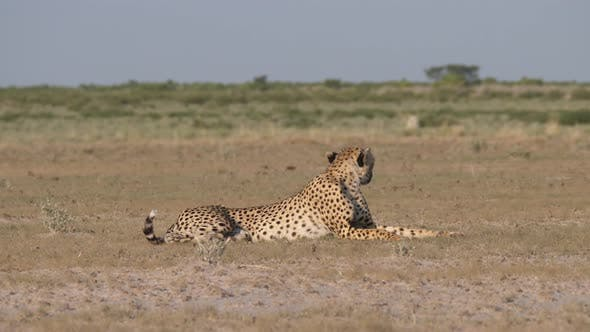 Thumbnail for Cheetah resting and looking around on the savanna