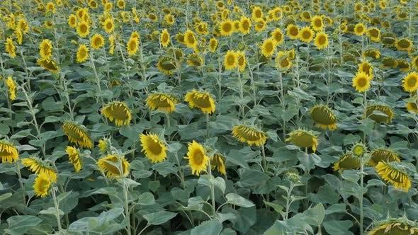 Zeitlupe Sonnenblume Helianthus annuus Pflanzenfeld Footage