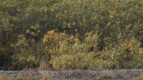Musk Ox Walking Moving in Autumn in Alaska