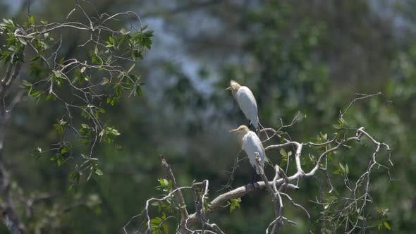 Thumbnail for Cattle Egrets