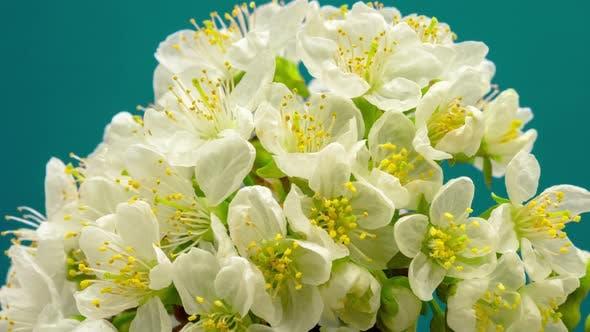 Cherry Blossom Timelapse on Mint