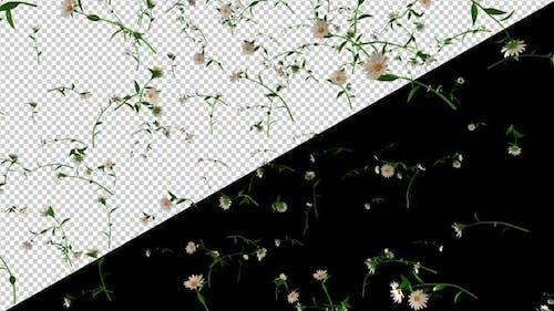 Rain of White Daisy Flowers