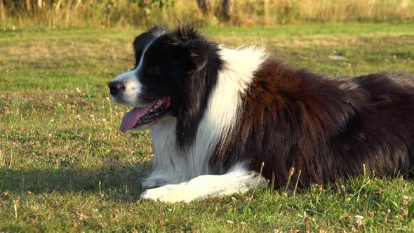 Thumbnail for A Border Collie Lies on Grass in a Meadow and Looks Around