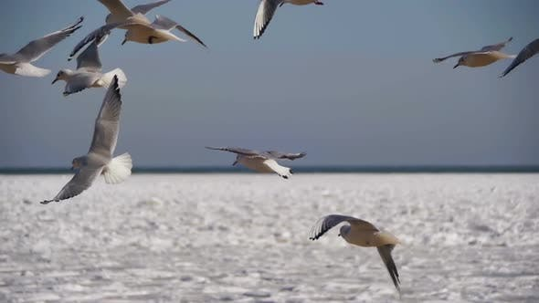 Thumbnail for Seagulls Hover in the Air and Catch Food on Frozen Ice-Covered Sea Background. Slow Motion