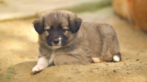 Cute Puppy Looks Ahead of Himself