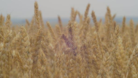 Nahaufnahme Ansicht von Weizen