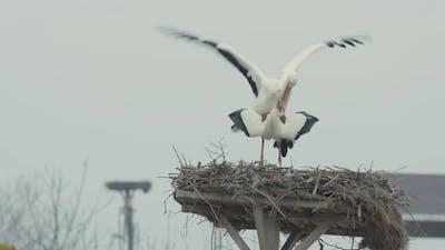 Mating Storks