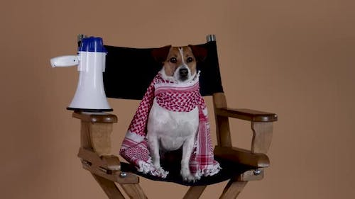 Jack Russell with a Scarf Around His Neck is Watching the Filming Sitting in the Director's Chair