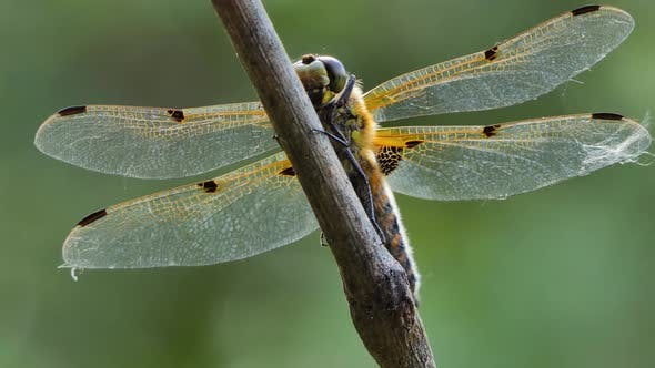 Big Dragonfly Sits on a Branch, Wild Beetle in Nature, Summer Spring Colorful Macro Wildlife