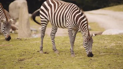 Plains Zebra In Safari Park