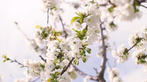 Cover Image for Spring Blossom