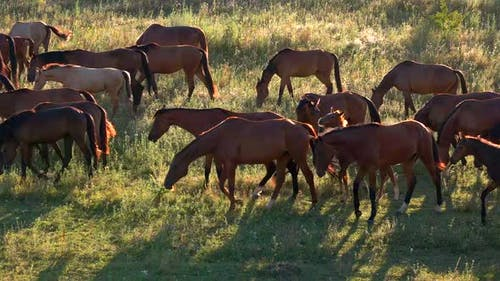 Horses Walk and Eat Grass