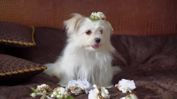 Maltese with wedding boutonnieres on the couch. animals on the wedding day.